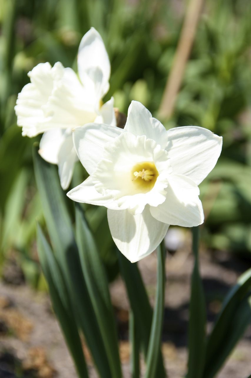 Close-Up Of White Daffodils Blooming On Sunny Day