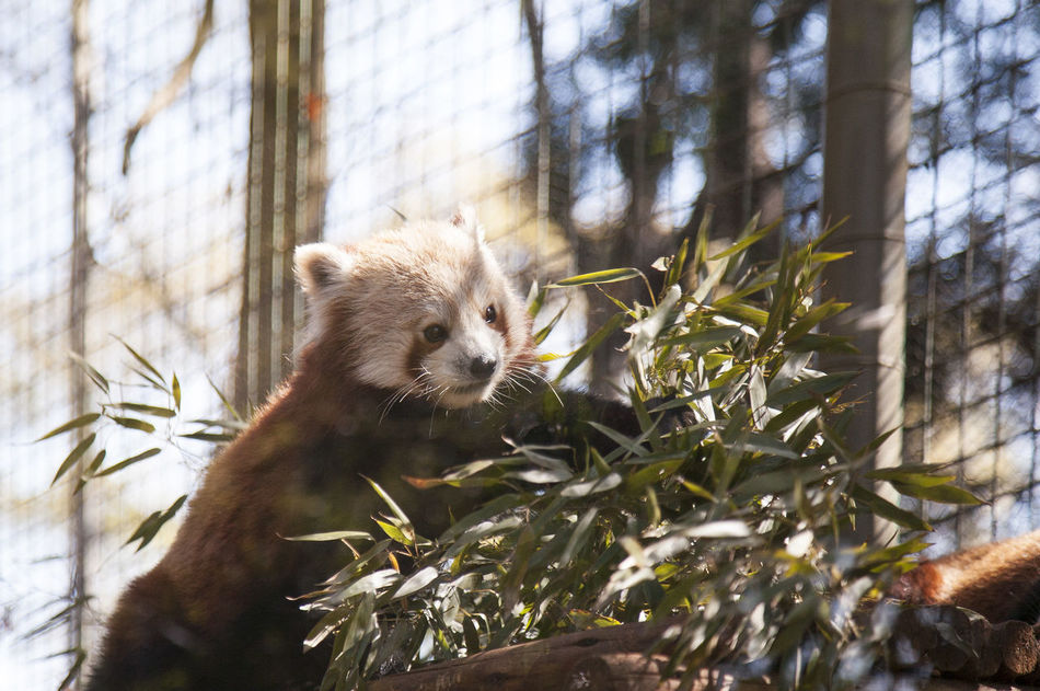 Animal Themes Animal Wildlife Animals In The Wild Branch Close-up Day Low Angle View Mammal Nature No People One Animal Outdoors Red Panda Tree