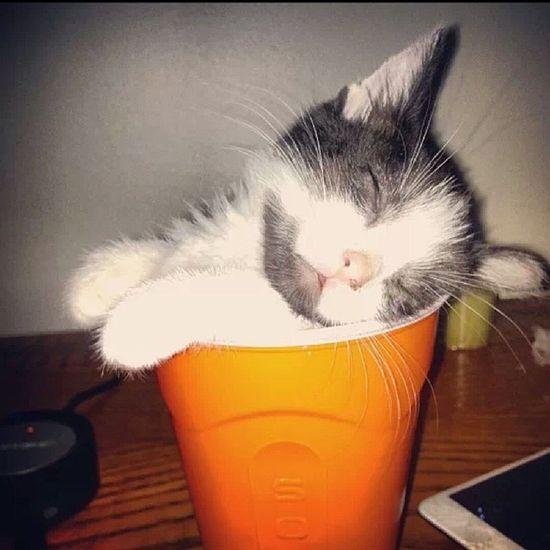 Awwwww Awwsundays Kitten Solocup Sleepyhead