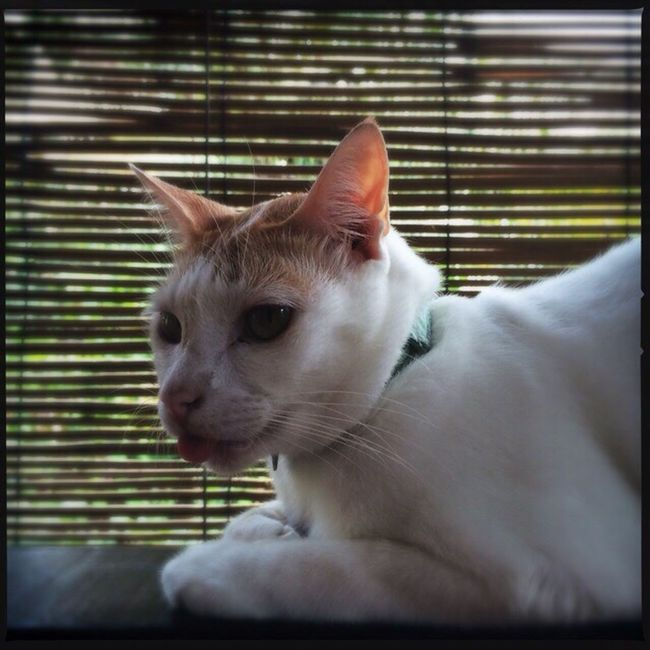 White Cat Touge Out Cute Pets Color Animal Photography Popeye Name