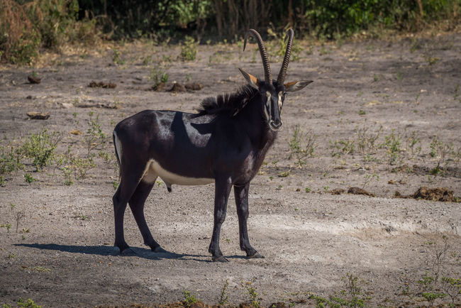 Animal Black Color Day Field Grass Grassy Herbivorous Landscape Mammal Nature No People Outdoors Sable Antelope Standing