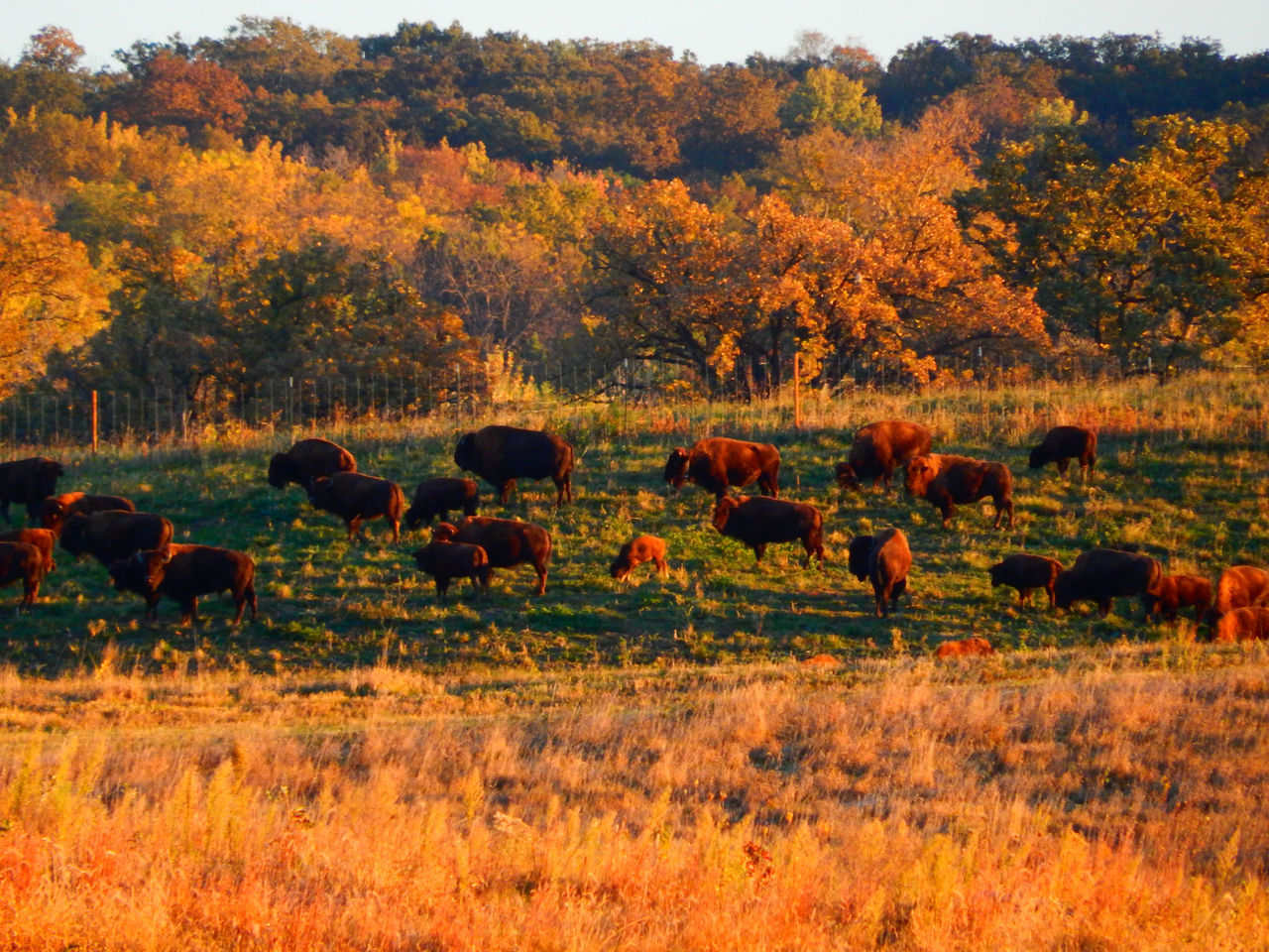 autumn, grass, tree, field, nature, large group of animals, landscape, grazing, no people, outdoors, animal themes, mammal, beauty in nature, day, american bison