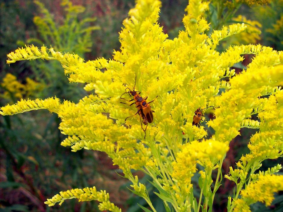 Animal Themes Animal Wildlife Animals In The Wild Beauty In Nature Bee Close-up Day Flower Flower Head Fragility Freshness Full Length Goldenrod Growth Insect Insects Mating Nature No People One Animal Outdoors Petal Plant Pollination Yellow