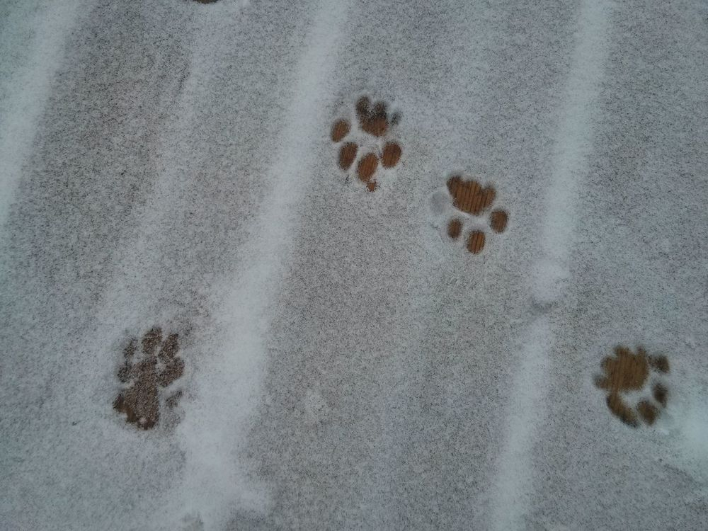 Cat Catching A Train Cats Cats Footprint Footprints In Snow Fresh Pawprint Fresh Scent Pets Pets In The House Tracks In Snow Tractor Winter