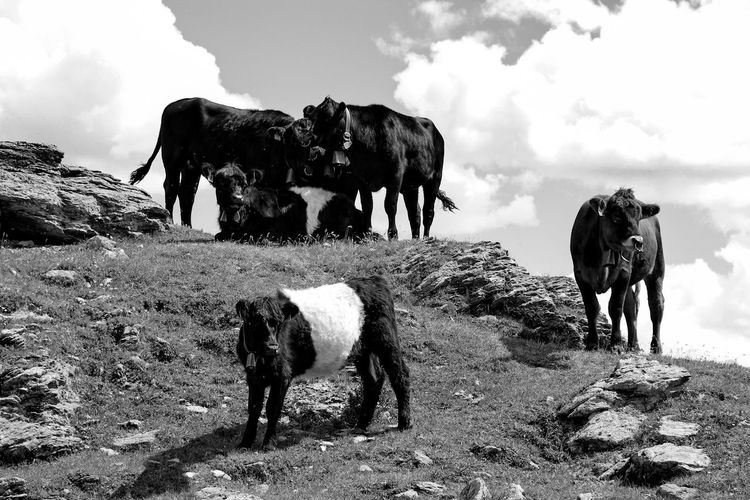 Animal Themes Mammal Sky Nature No People Landscape Livestock Five Animals Day Beauty In Nature Domestic Animals Outdoors Mountains And Sky Cow Cows Bnw_friday_eyeemchallenge BNW_farm_animals Blackandwhite Bnw