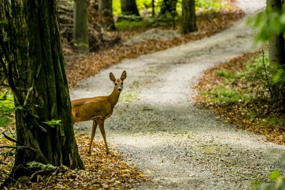 Beautiful stock photos of hirsch,  Animal Themes,  Animal Wildlife,  Animals In The Wild,  Autumn