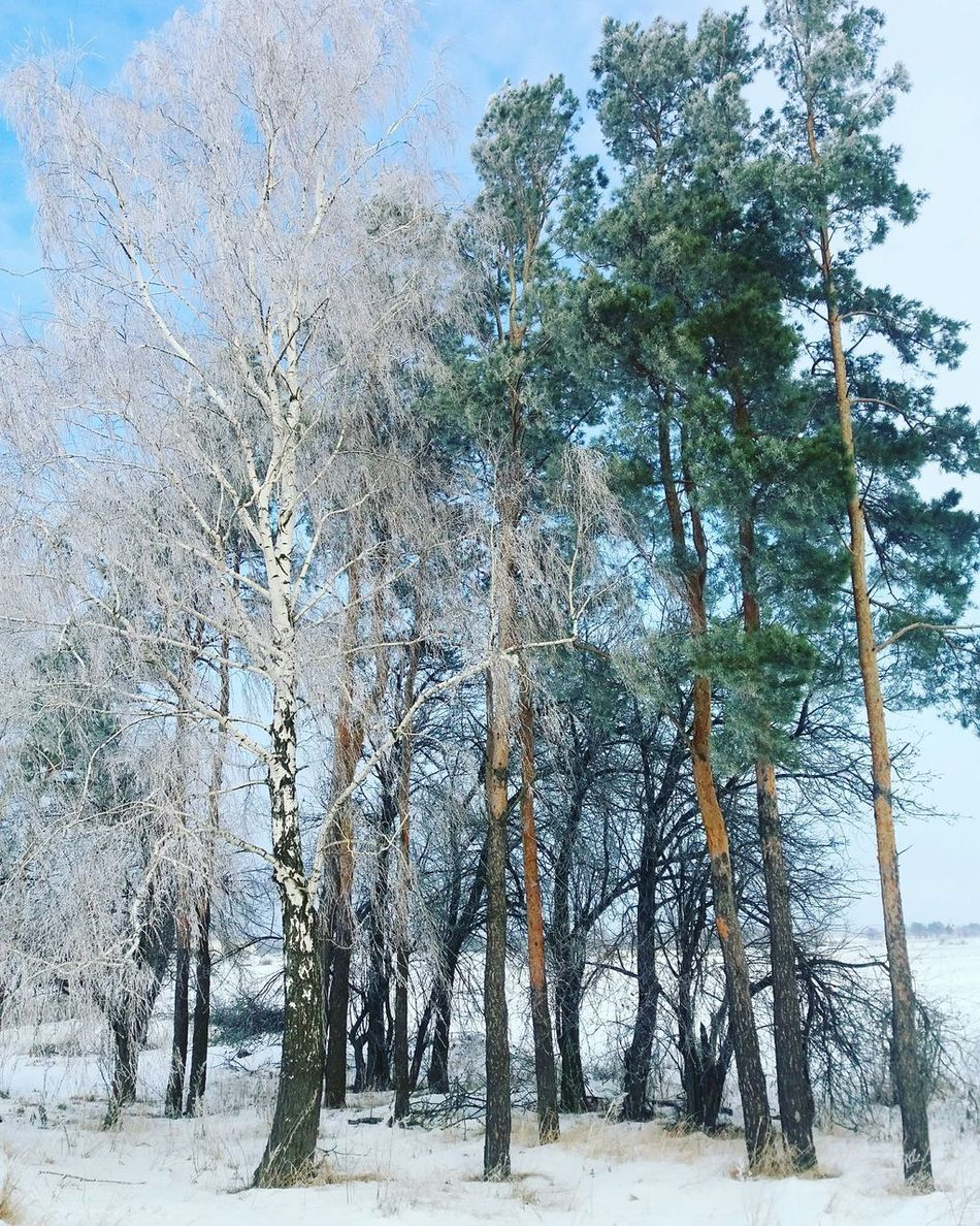 White Color Green Winter Winter Trees Freezingweather Beauty In Nature Forest No People Cold Temperature Snow ❄ Morning Landscape Phonephotography📱