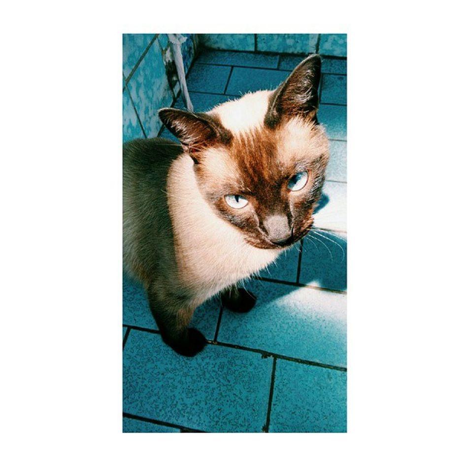 Kima Lovyu Siames Siamese Blancoynegro Cat Catlover Catlovers Catloverscatoftheday Catsofinstagram Catstagram Siamesecatsofinstagram