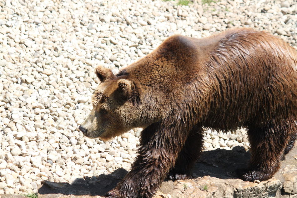 Beautiful stock photos of bear, Animal Themes, Animals In The Wild, Brown Color, Day