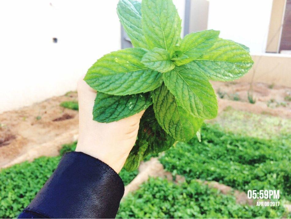 Photographer IPhone 5S Taking Photos Libya Hi World misurata tripoli ❤] Plant Mint Green Color Camera Phone My Hand  a tripoli ❤