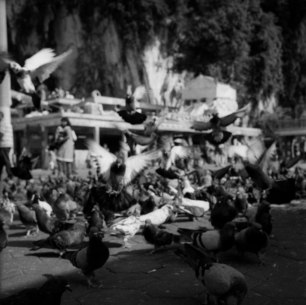 Batu Caves on film 005. Taken with the Rolleiflex Spirituality Religion Streetphotography Thaipusam EyeEmMalaysia Blackandwhite Believeinfilm Filmisnotdead Black And White Street Photography White Background Black And White Photography Rolleiflex Streetphoto_bw Thaipusam 2017 Spirituality Filmphotography Ishootfilm Birds Birds Of EyeEm