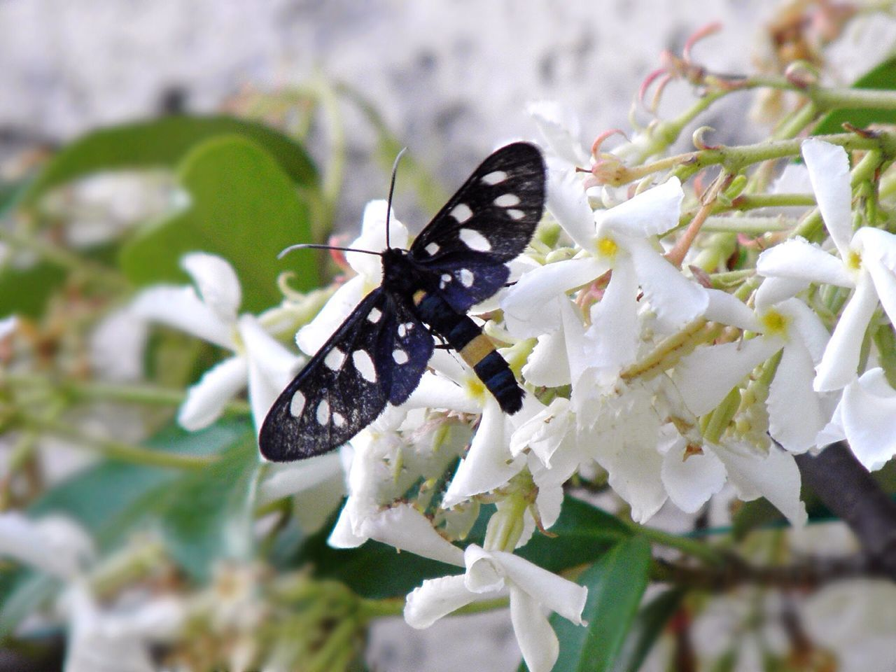 Amata Phegea Phegea Flower Beauty In Nature One Animal Insect Animals In The Wild Nature Growth Animal Themes Fragility Freshness Plant Petal Close-up Pollination Butterfly - Insect Animal Wildlife Day No People Outdoors Flower Head Jasmine Butterfly Zoology