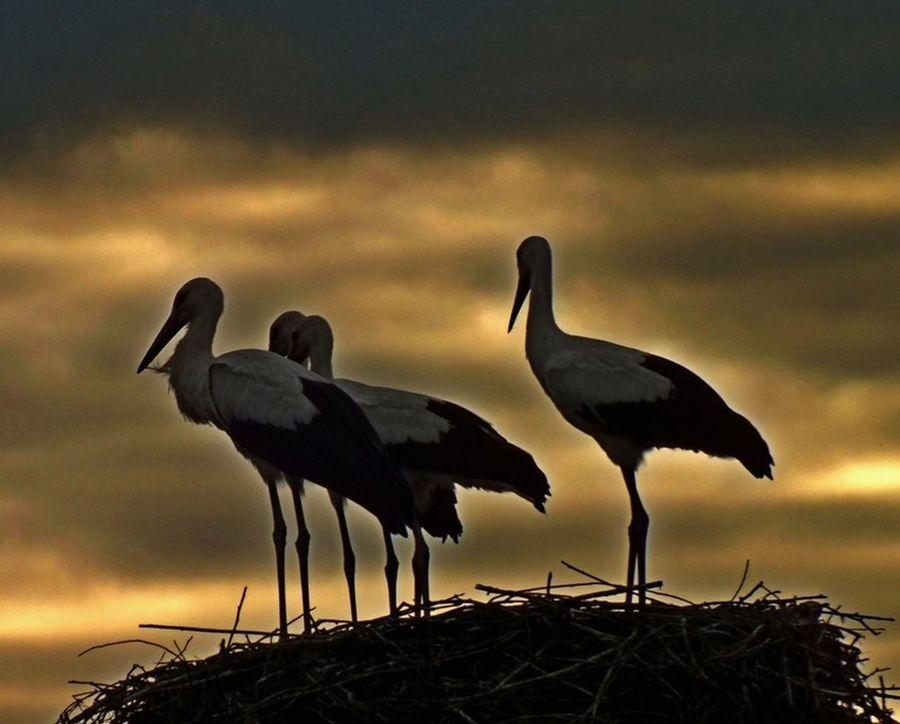 Animal Themes Animal Wildlife Beauty In Nature Bird Cloud - Sky Cloudy Nature No People Outdoors Sky Stark Stark Contrast Sunset
