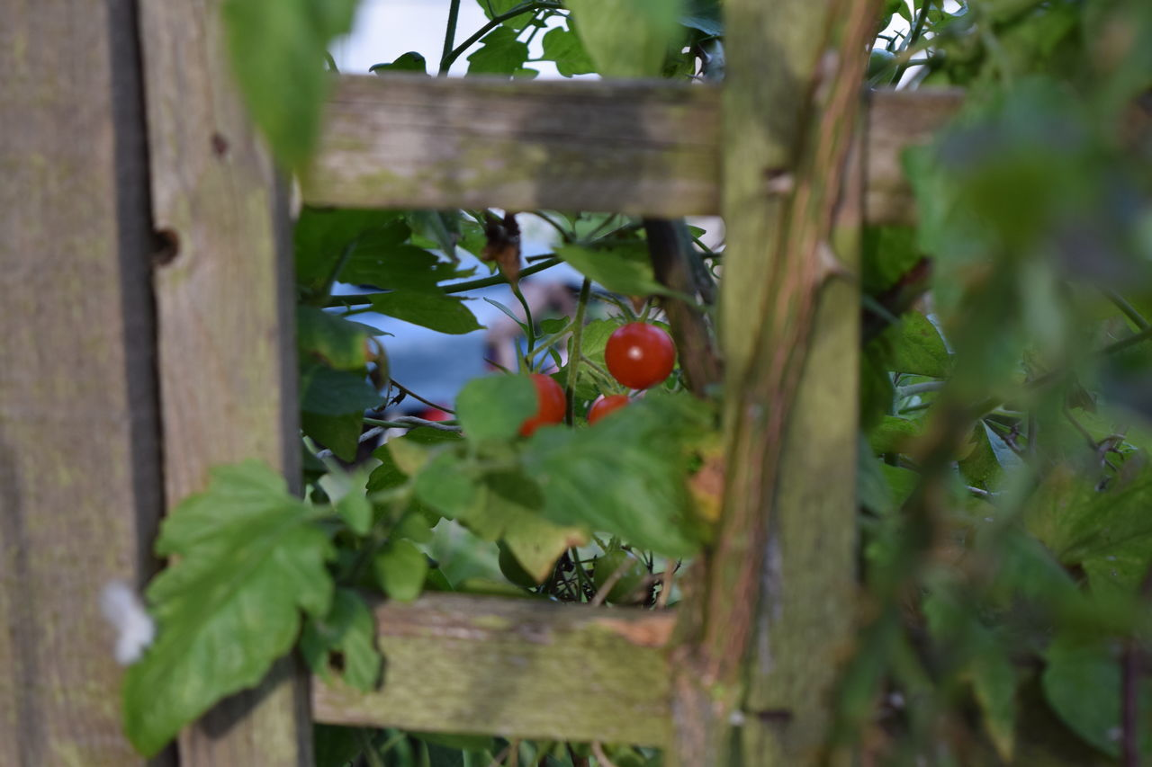 Cherry Tomatoes Green Grown Healthy Food Leafes Tomato