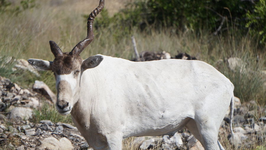 One-Horned Addax Add Animal Themes Animals In The Wild Day Grass Mammal Nature No People One Animal One-horned Outdoors Screwhorn Standing White Antelope