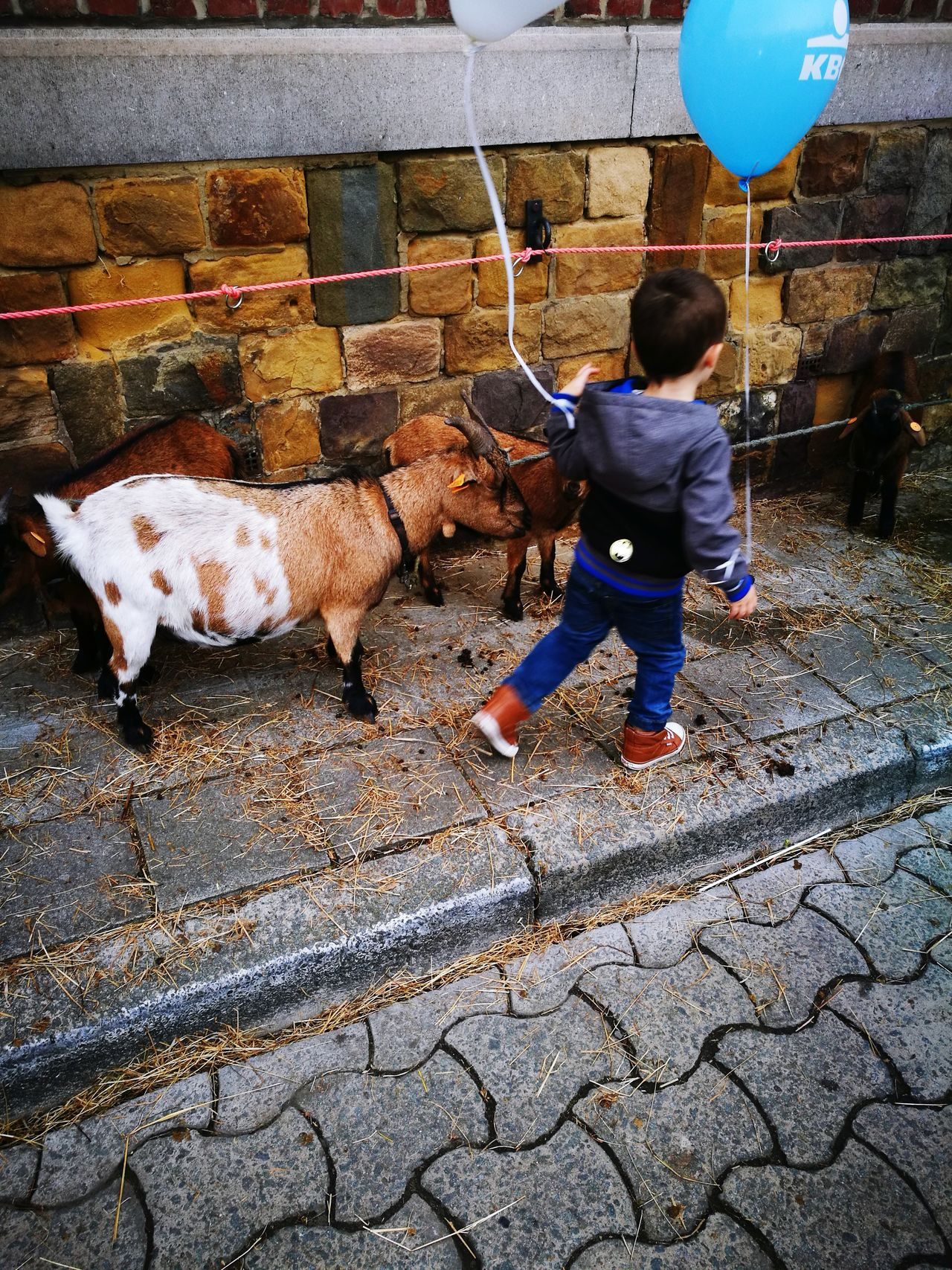 Domestic Animals Real People Livestock Day Full Length One Person Outdoors Mammal Men Working People Adult Goat Goatfarm Carnival Time Canival