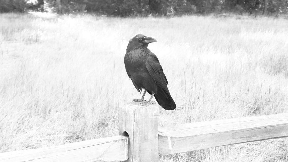 Raven Alone Beak Bird Photography Birds_collection Birds🐦⛅ Black & White Crow EyeEm Birds Forest On The Log Raven