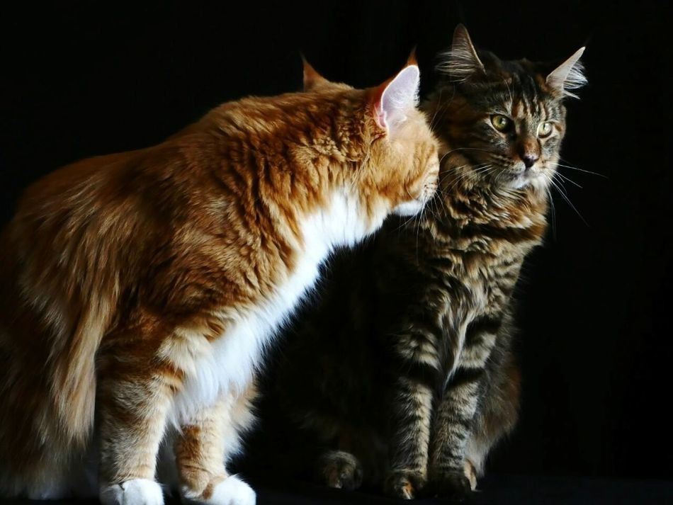 Black Background Animal Themes Feline Close-up Domestic Animals EyeNewHere Cats Of EyeEm Whiskers Wednesday Kitten Cute Maine Coon Cats