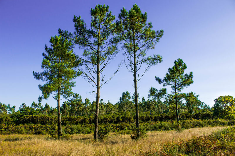 Beauty In Nature Clear Sky Forest Grass Nature Pine Tree Rural Scene Tranquility Tree Perspectives On Nature