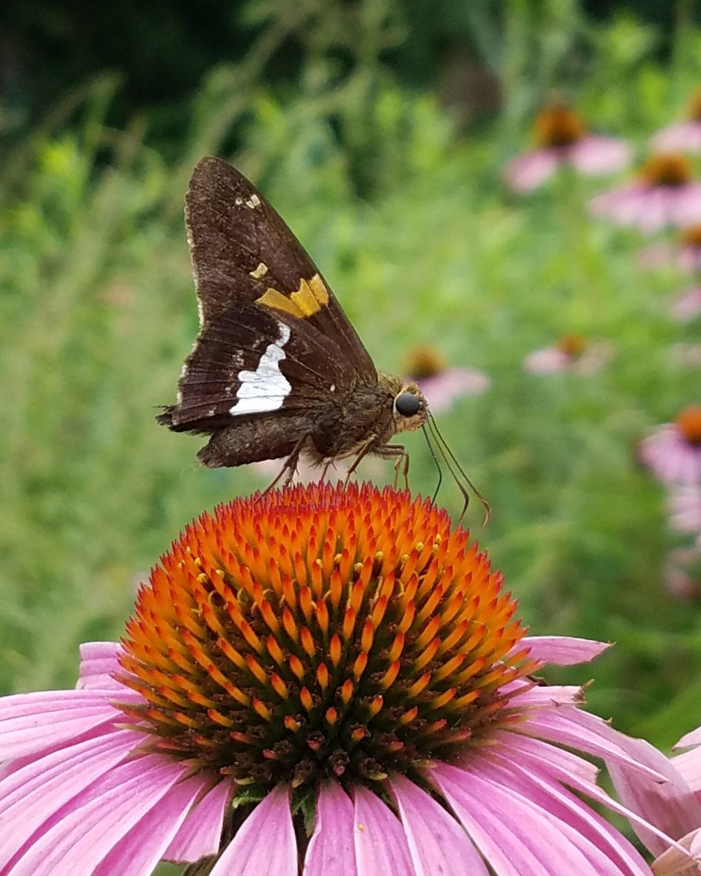 Close-Up Of Butterfly On Eastern Purple Coneflower Blooming Outdoors