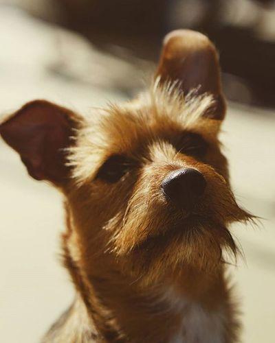Dog Ziess85mm Ziess Bestfriend Thanos Pet Doggies Thereelhero Ruff Puppy Puppies Followme Hiremeplease Brystahh