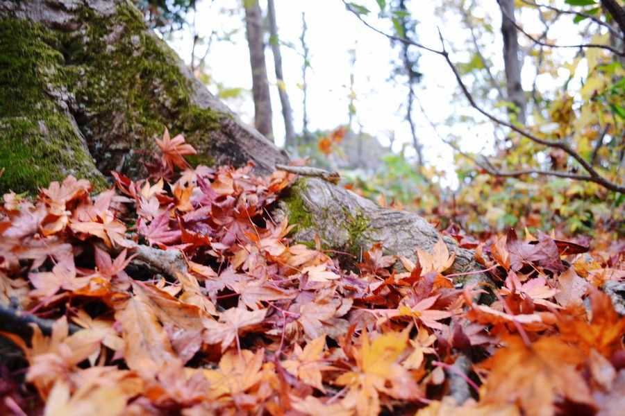 Autumn Leaf Change Nature Tree Leaves Beauty In Nature Outdoors No People Close-up Growth Day Maple Leaf Fragility Maple 高尾山 紅葉 終わり頃