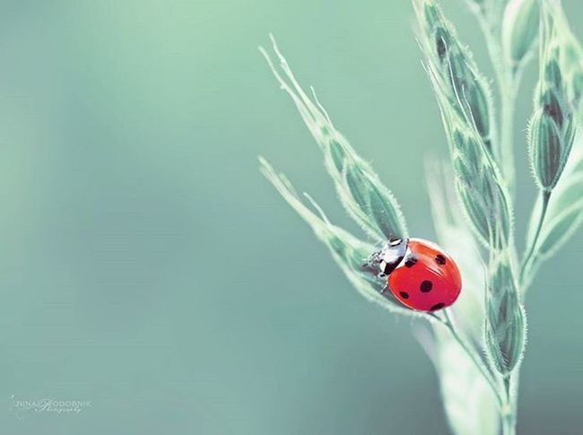 Red Lady 🐞 Ladybug Happines Happy Macrocaptures Macrophotography Naturephotography Naturecaptures Ig_nature Animal Animallovers Summer Ilovesummer Sloveniawithlove Slovenia Igslovenia
