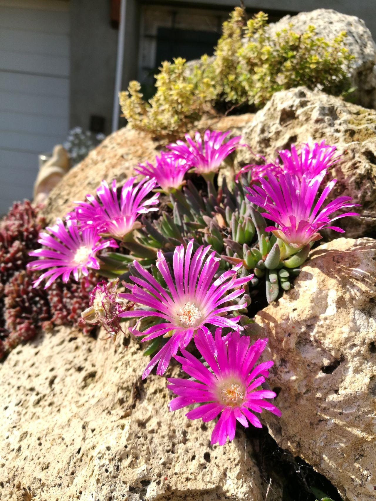 First Eyeem Photo Flowers Puprle Flower Rock And Flowers Rock Gardens