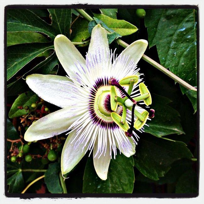 Passionsblume (Passiflora), Flowers , Blumen - July 2013