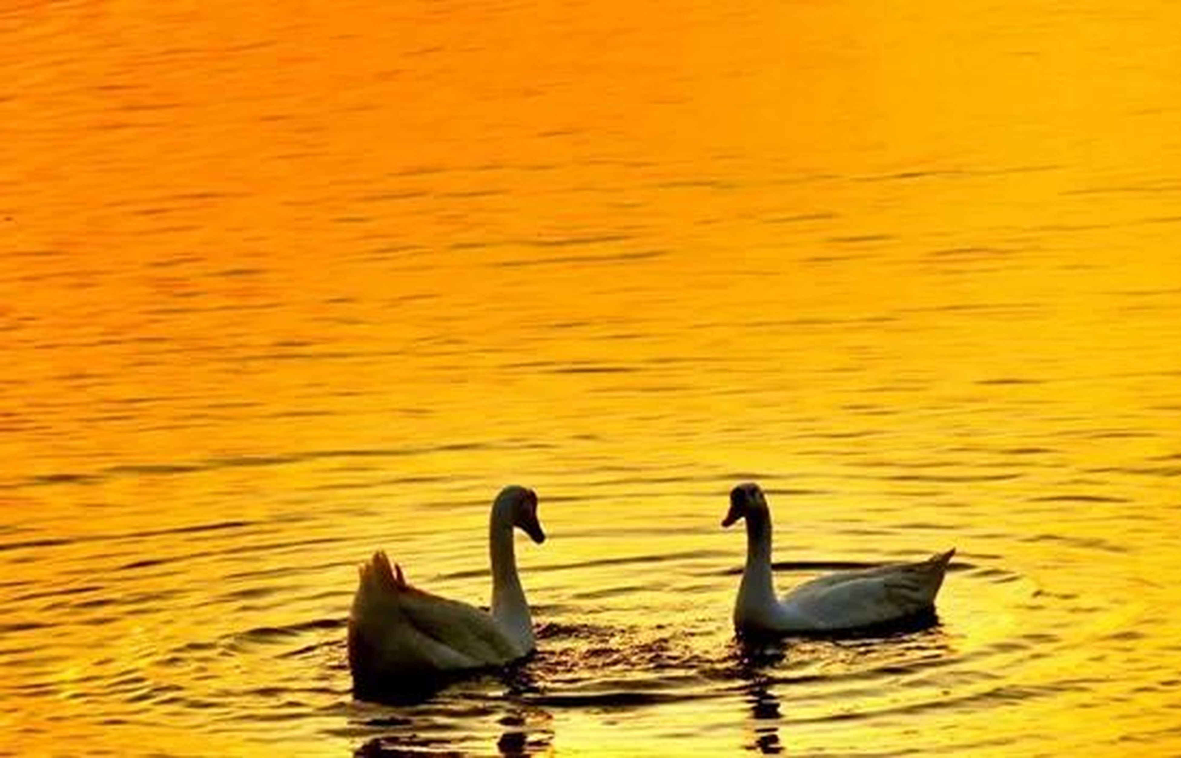 bird, animal themes, animals in the wild, wildlife, water, swimming, lake, waterfront, rippled, swan, duck, reflection, nature, sunset, beauty in nature, water bird, floating on water, outdoors, tranquility, no people