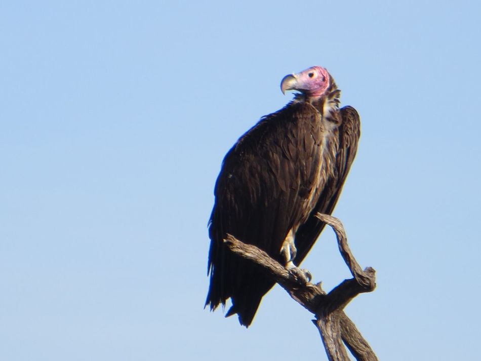 Abutres Africa Animal Themes Animal Wildlife Animals In The Wild Bird Clear Sky Low Angle View One Animal Serengeti Serengeti National Park Tanzania