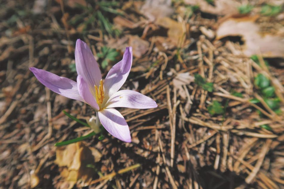 Growth Fragility Freshness Purple Flower Beauty In Nature Petal Nature Plant Flower Head Close-up No People Blooming Day Outdoors Crocus Macro