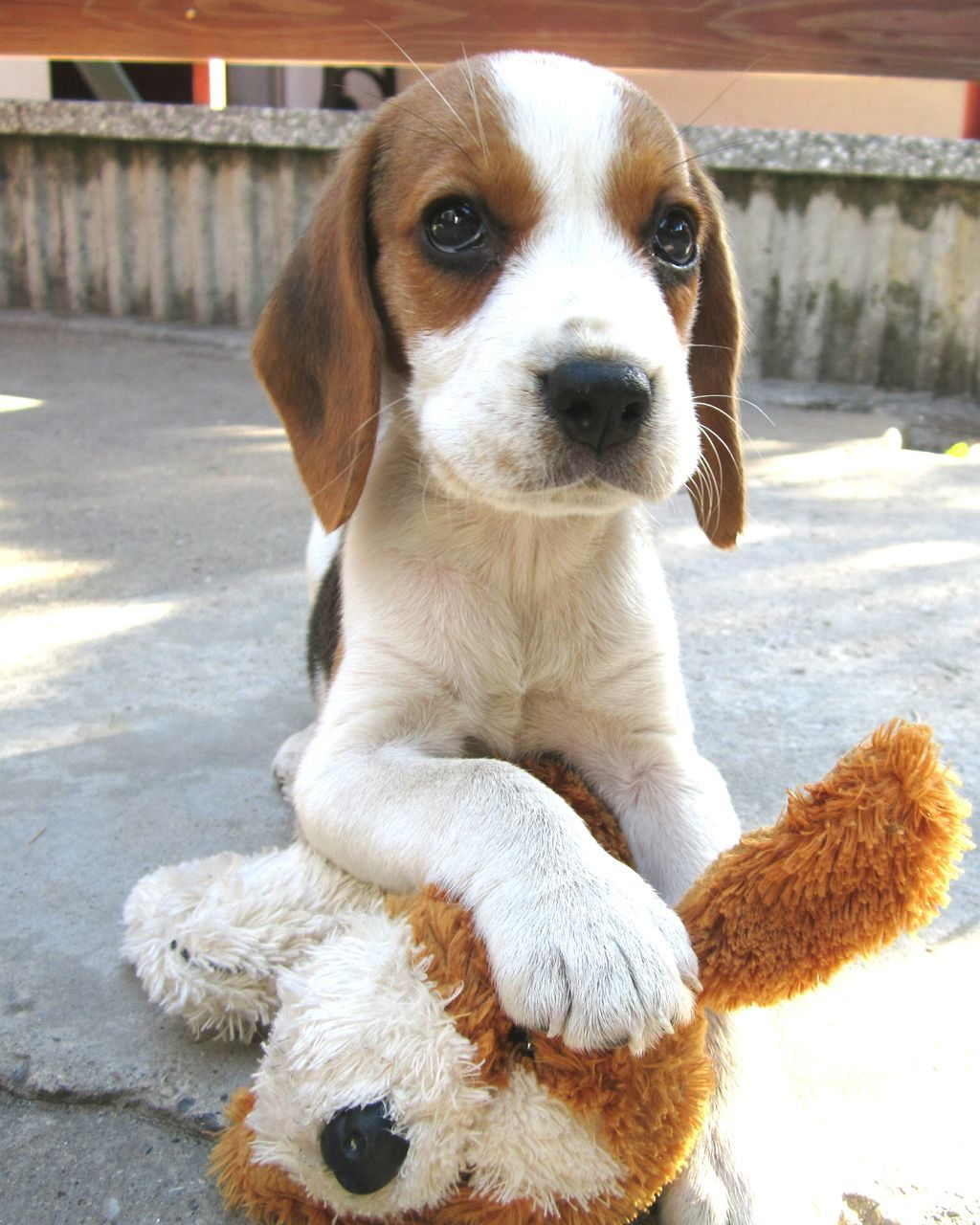 dog, pets, one animal, domestic animals, animal themes, looking at camera, outdoors, mammal, portrait, day, no people, close-up, beagle