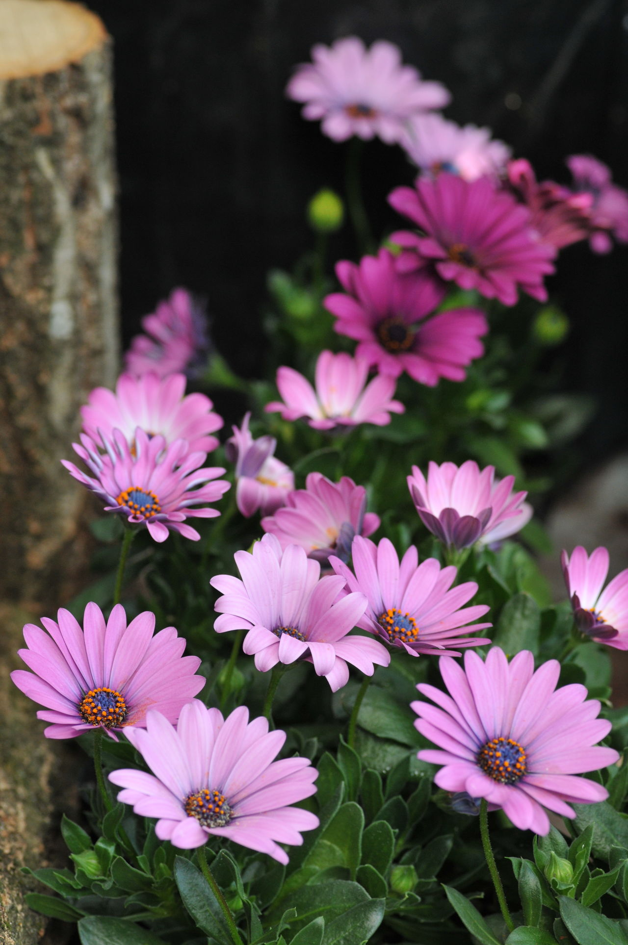 Flower Festival Commemorative Park Beauty In Nature Blooming Flower Flower Head Fragility Freshness No People Osteospermum Plant