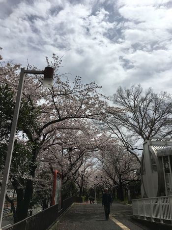 College Morinomiya University Campus Cherry Blossoms Spring