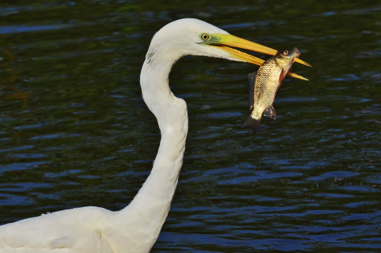 animals in the wild, one animal, bird, animal themes, animal wildlife, beak, white color, lake, water, day, nature, no people, outdoors, close-up, great egret, beauty in nature