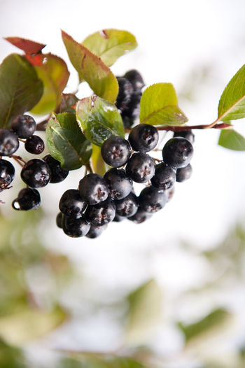 Chokeberries or aronia fruits sag on twig and green leaves of plant, photo taken in Poland, vertical orientation, nobody. Acrid Aronia Berries Chokeberries Chokeberry Close-up Fruit Fruit Tree Fruits Grow Growing Hanging Leaf Nature No People Plant Shrub Sour Tree Twig