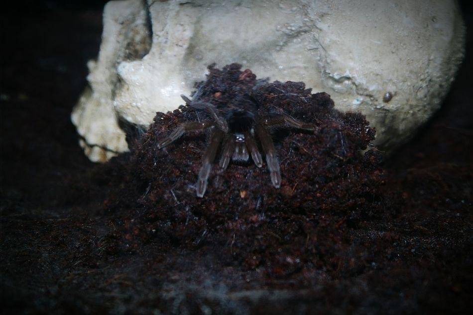 Spider Skull Dark Check This Out Animals Western Australia Australia Pet Close-up Huntsman HuntsmanSpider