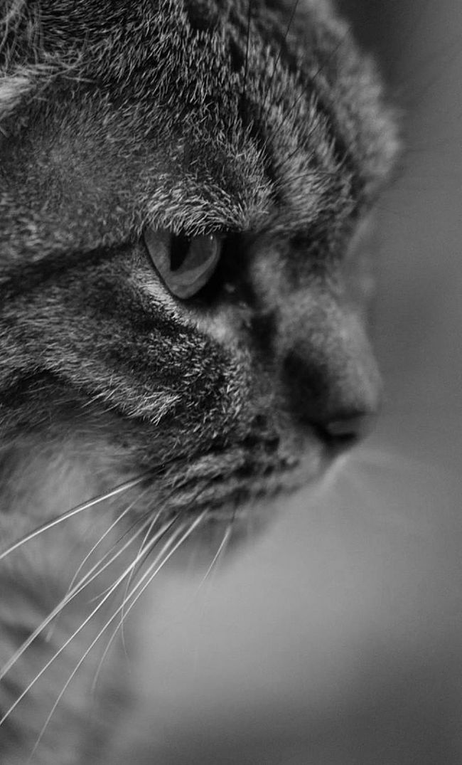 Tigrette Cat Pets Mycat Animals Black&white Blackandwhite Photography Black & White Black And White Blackandwhite Black And White Portrait BW Collection
