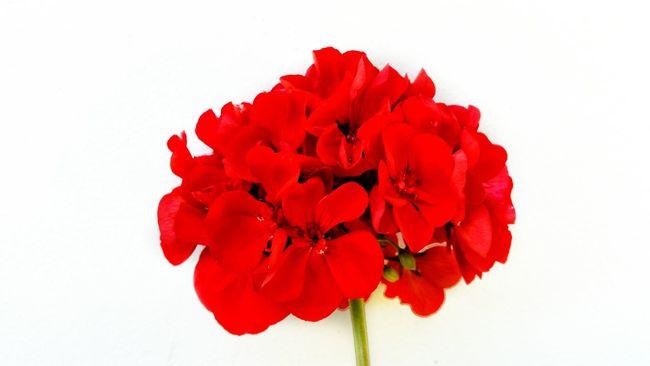 Flower Red Flower In My Garden On The Way Home Blume Natur Summer Gewächs Aus Der Natur Effect Rot Weiß Grüner Stengel Blütenpracht Einfarbig