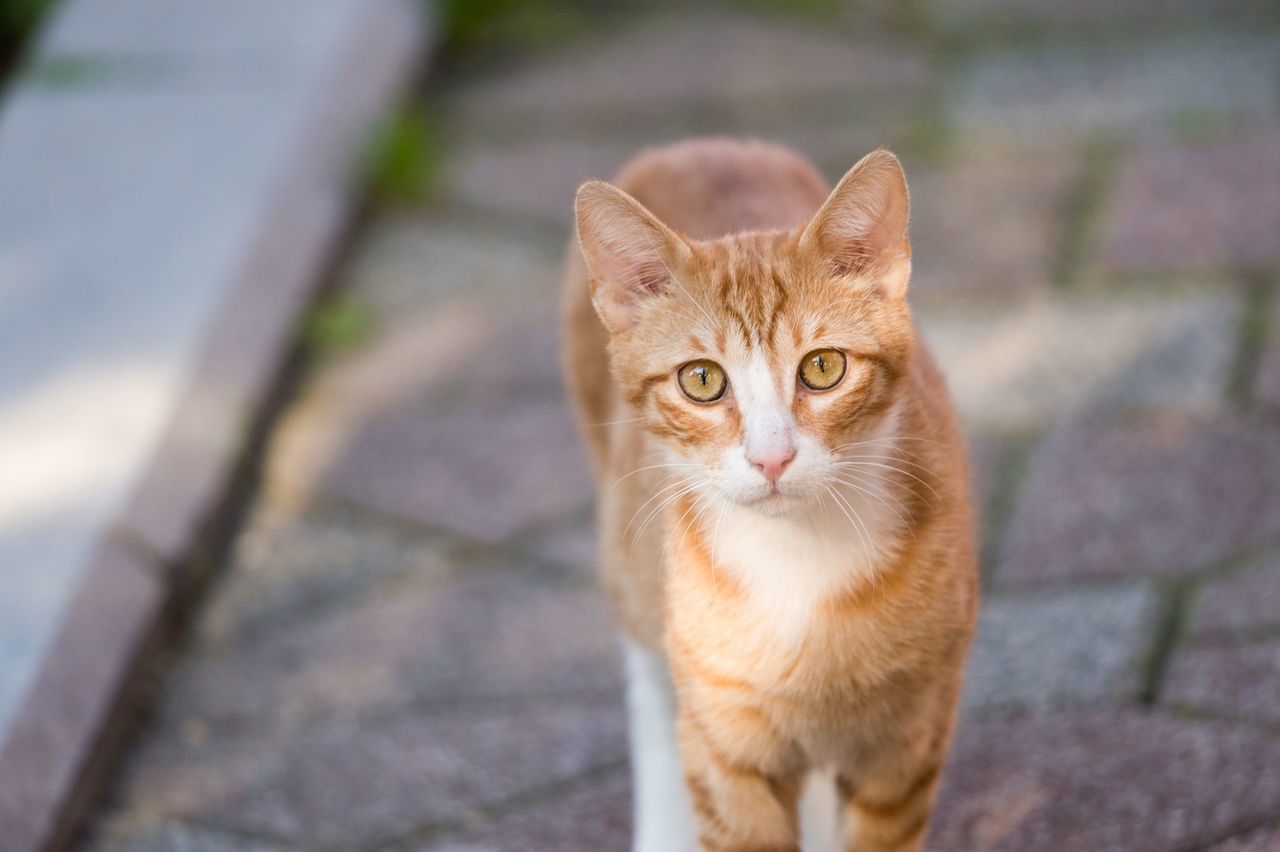 Stray Kitten Inquisitive Animal Themes Cat Close-up Curiosity Domestic Animals Domestic Cat Feline Focus On Foreground Inquisitive Kitten Looking At Camera Mammal One Animal Orange Orange Cat Orange Color Pavement Pets Portrait Stray Animal Stray Cat Sunlight Walking Towards Camera Yellow