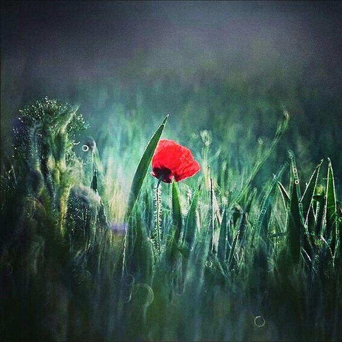 Poppies  Flowers Kwiaty Maki Rubinar