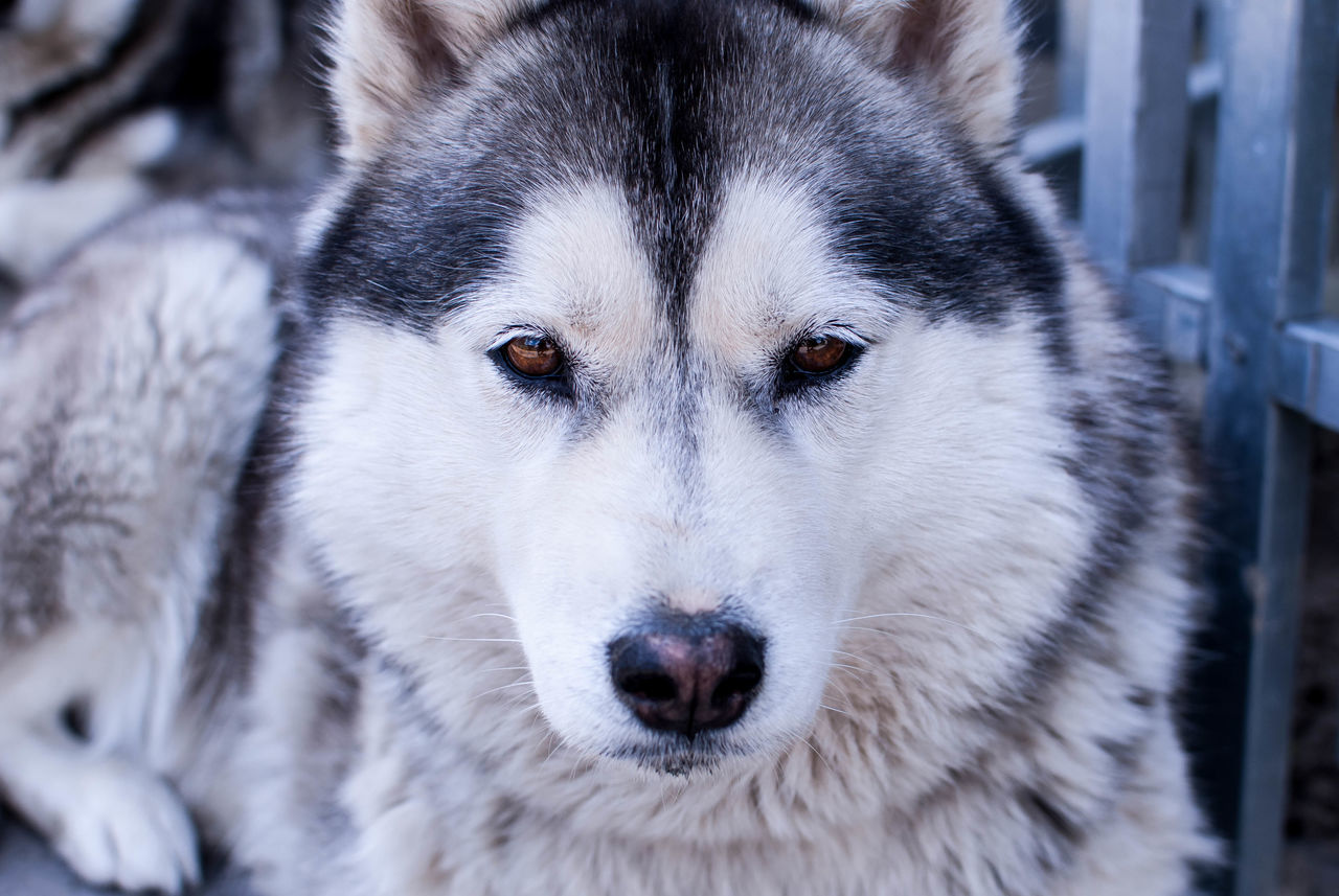 """Eyes are the window to the soul"" #1 Animal Animal Eye Animal Hair Animal Head  Animal Photography Animal Themes Animals Budapest Budapest, Hungary Close-up Dog Focus Husky Huskylove Huskyphotography Pets Portrait Ikonik"