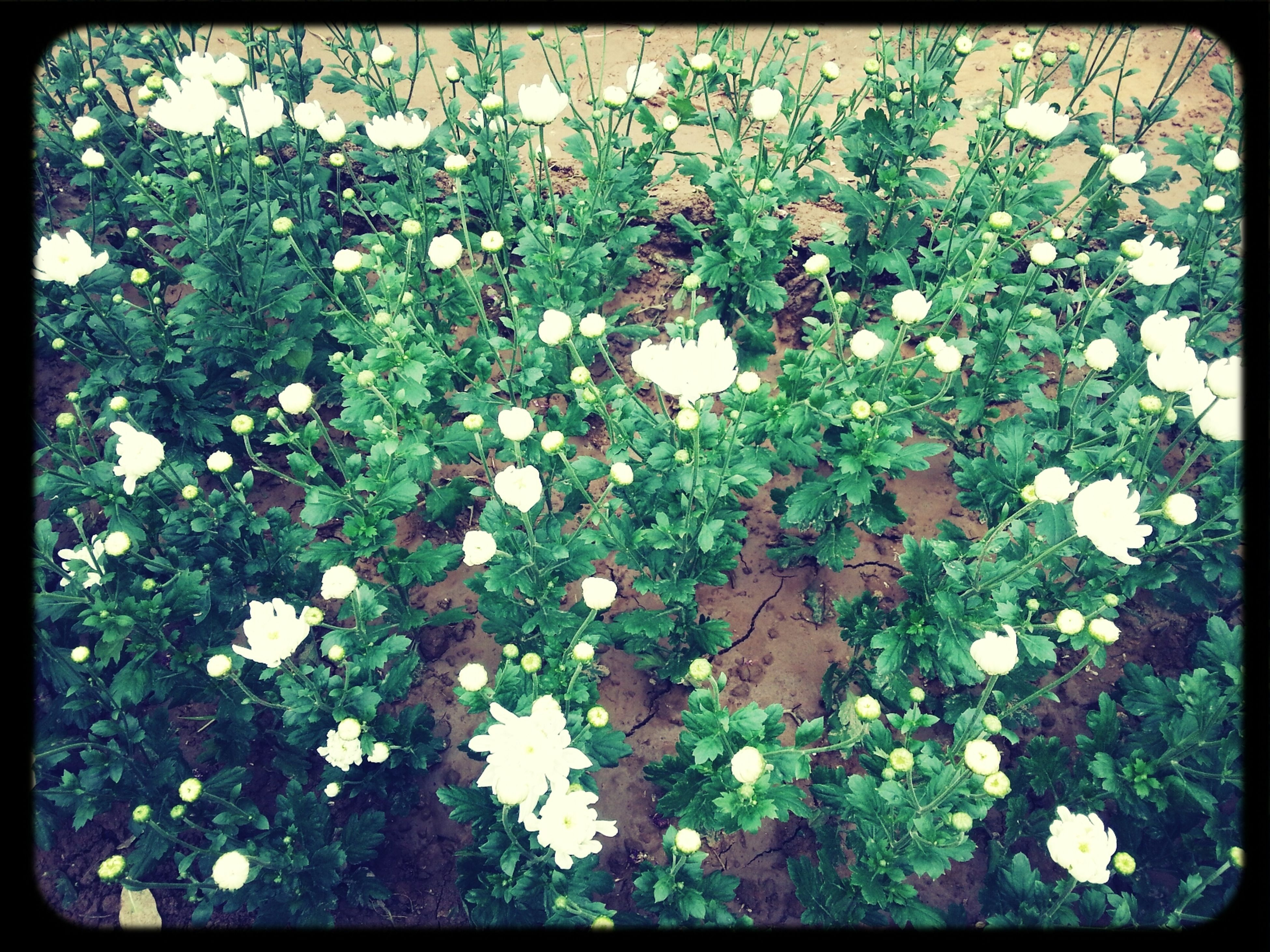 flower, growth, transfer print, freshness, fragility, leaf, plant, beauty in nature, nature, auto post production filter, white color, high angle view, blooming, blossom, petal, green color, in bloom, day, field, outdoors