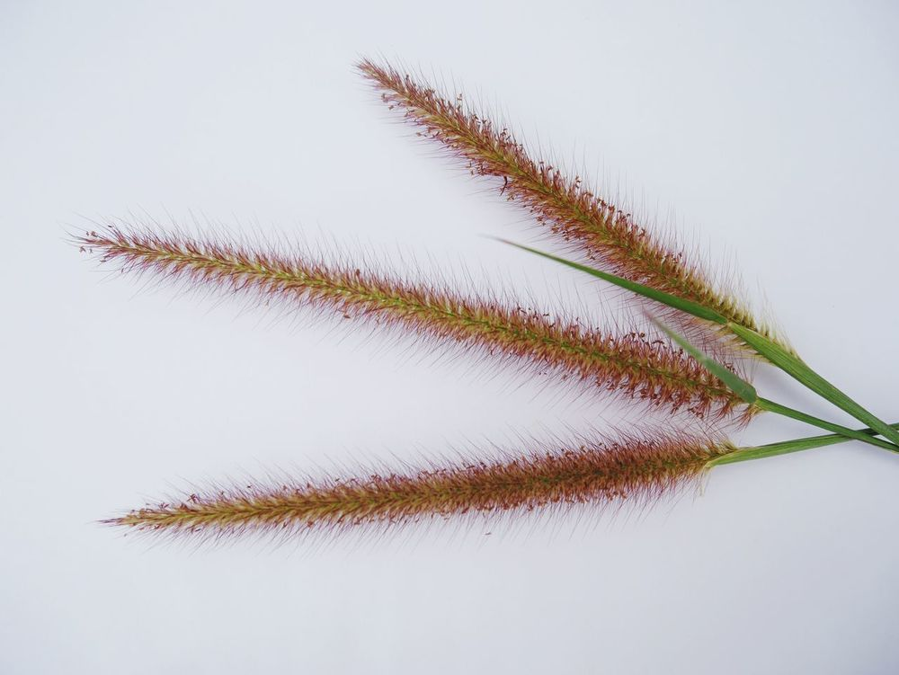 Grass flowers on White blackgroud Nature No People Growth Flower Beauty In Nature Day Outdoors Fragility Freshness Close-up Sky Beauty In Nature Studio Shot Pattens In Nature Blackground Isolate
