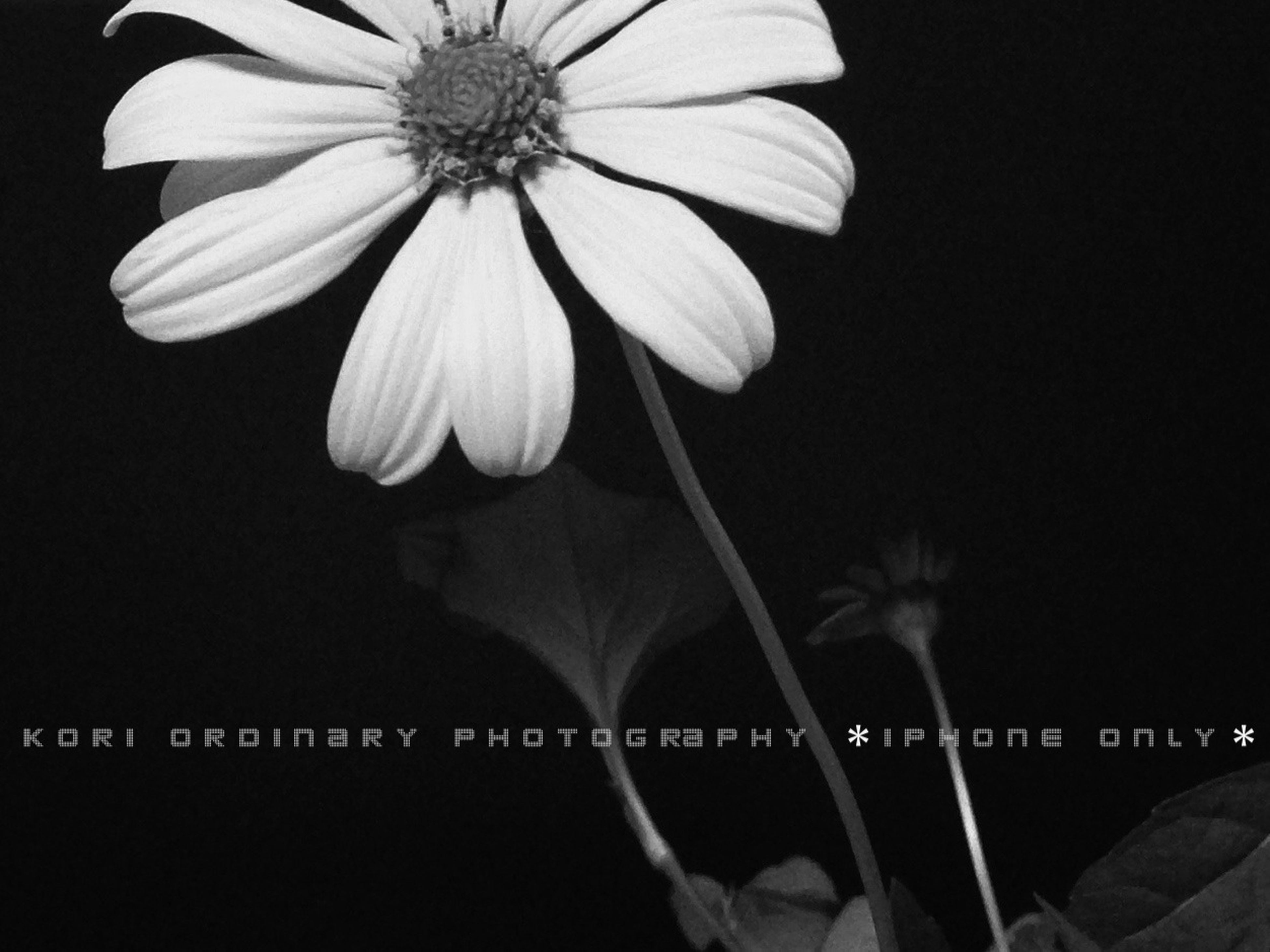 flower, petal, fragility, flower head, freshness, growth, night, close-up, copy space, beauty in nature, studio shot, nature, black background, plant, blooming, stem, focus on foreground, outdoors, clear sky, no people