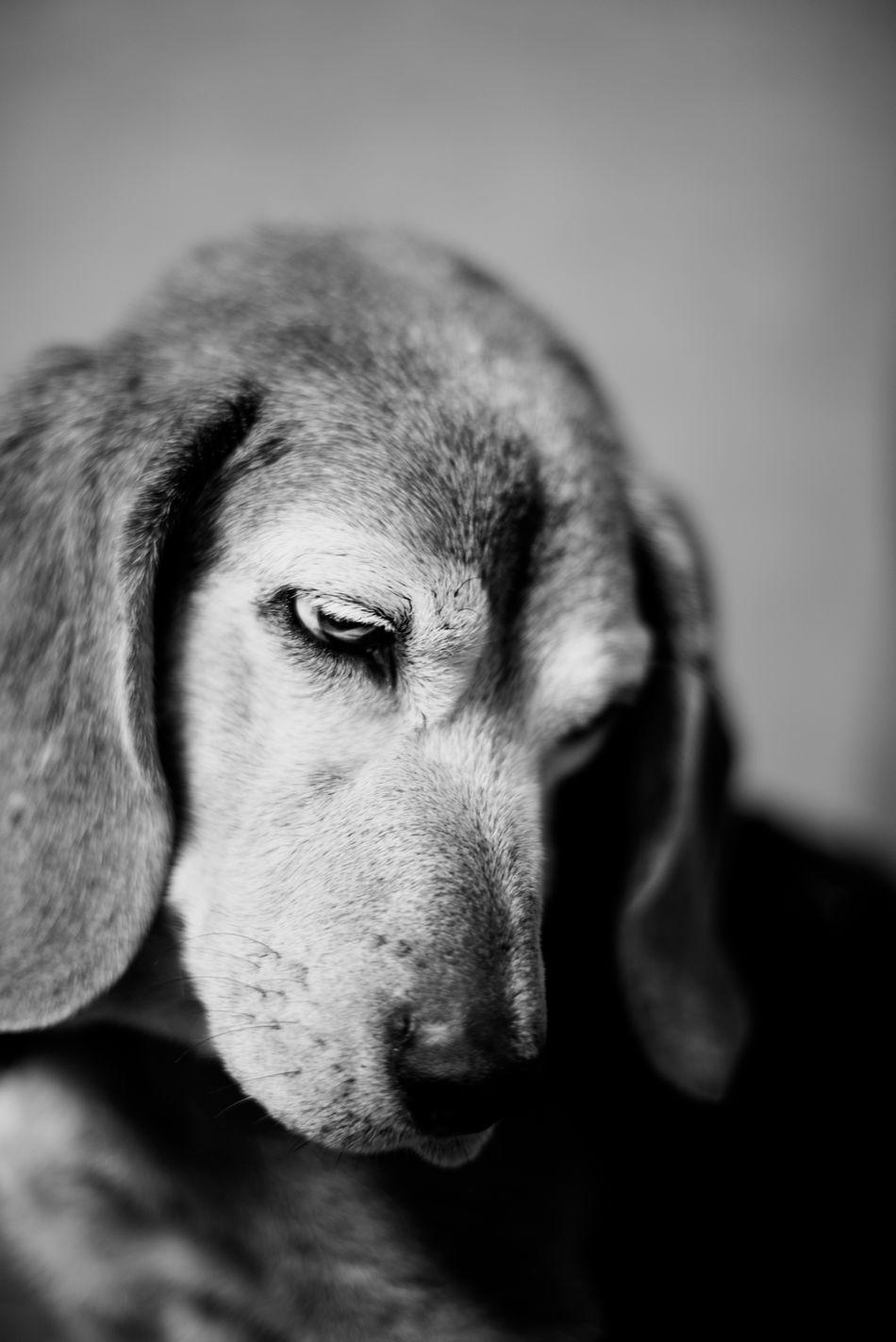 Animal Body Part Animal Head  Animal Themes Beagle Beagle Love Close-up Day Dog Dog Lifestyle Dog Photographer Dog Photography Dog Portrait Domestic Animals Indoors  Mammal No People One Animal Pet Photographer Pet Photography  Pet Portrait Pet Portraits Pet Portraiture Pets Portrait My Love