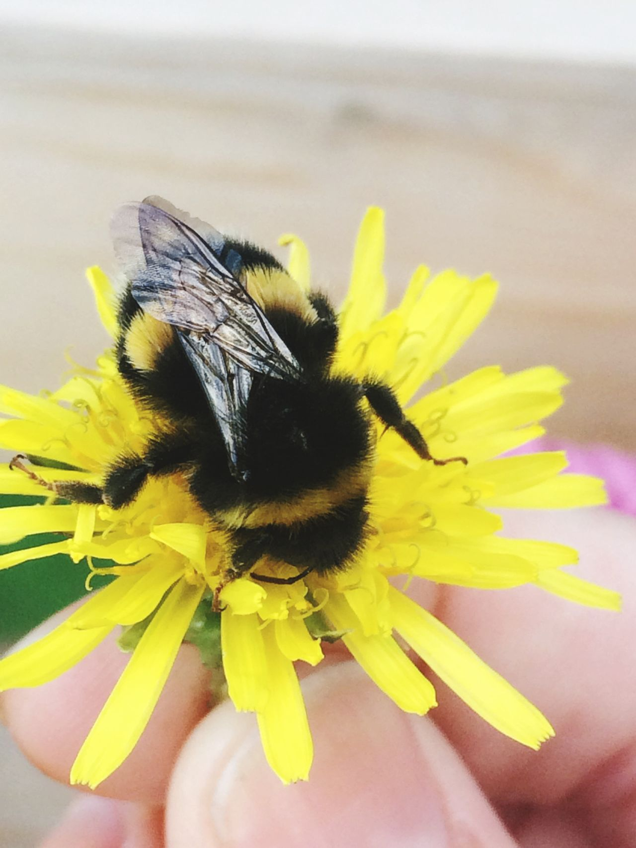 Helping A Friend Love Bees Save The Bees Pollinators Embrace Nature Friends Bee Tired Bee Wildflowers Dandelion
