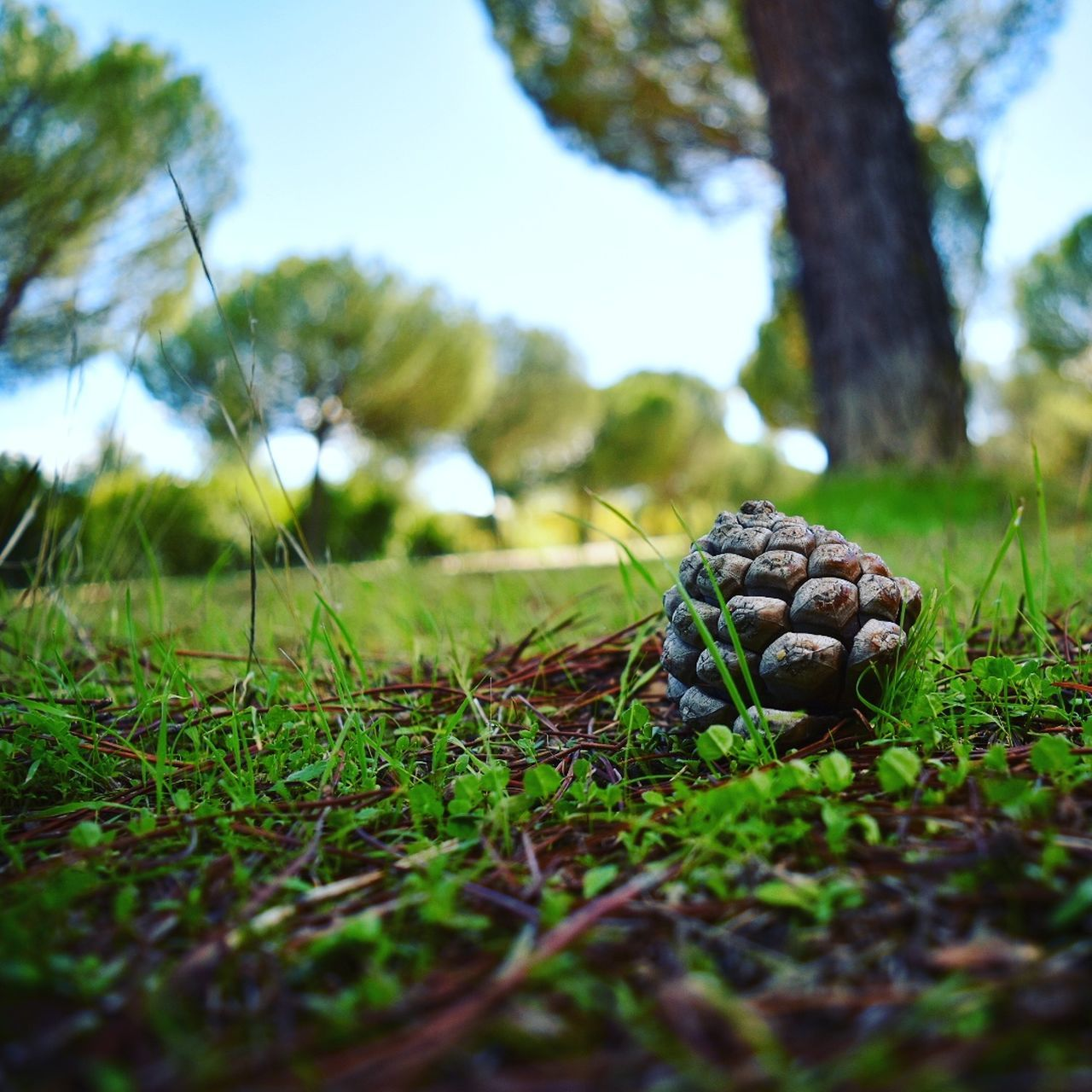 Close-Up Of Pine Cone On Tree