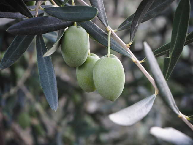 Agriculture Halkidiki,Greece Branch Close-up Day Focus On Foreground Food Food And Drink Freshness Fruit Green Color Green Olives Growth Healthy Eating Leaf Nature No People Olive Tree Olives Outdoors Tree